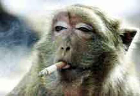 """Obrázek """"http://www.psina.cz/data/obrazky/188/opice-kouri.jpg"""" nelze zobrazit, protože obsahuje chyby."""