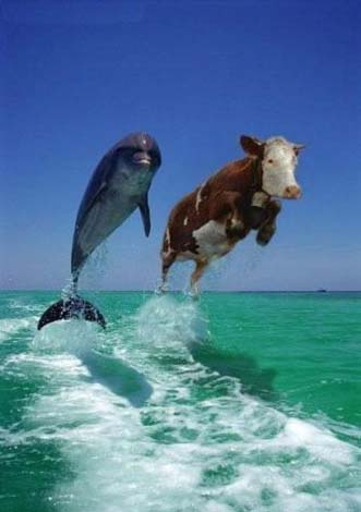 silena-krava.jpg